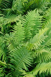 Green fern background. Green fern plant texure as nice natural background Royalty Free Stock Images