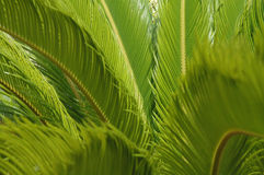 Green fern background - horizontal. Close up of green ferns for use as a  tropical background Royalty Free Stock Images