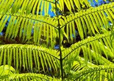 Green Fern Background. Royalty Free Stock Photo
