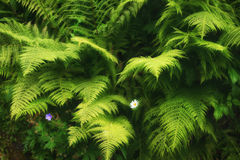 Green fern background Royalty Free Stock Photos