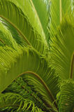 Green fern background - vertical. Close up of green ferns for use as a  tropical background Stock Photography