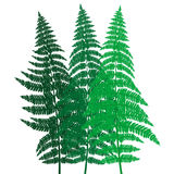 Green fern background. On white background Royalty Free Stock Photo