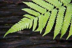 Green fern on black wood. Green fern on black wood background. Macro green fern Royalty Free Stock Photos