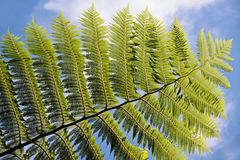 Green fern with blue sky Royalty Free Stock Photo