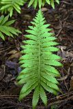 Green Fern in the Forest in Maui, Hawaii royalty free stock photography
