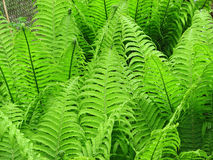Green fern bracken Royalty Free Stock Photography