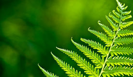 Green fern branch Royalty Free Stock Images