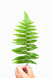 Green fern branch isolated on white background Royalty Free Stock Photo