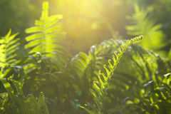 Green fern branch. In sun light Royalty Free Stock Photos