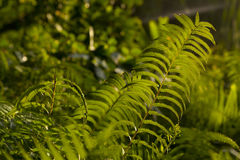 Green fern branch. In sun light Royalty Free Stock Images