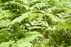 Green fern bush pattern closeup view. On summer forest background royalty free stock photos