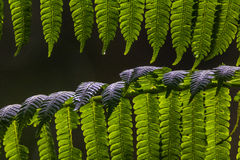 Green Fern Close Background. Close up of green fern leaves with a black background and dew on the leaves Stock Images