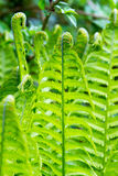 Green fern. Close-up of green color fern in natural environment Stock Photos