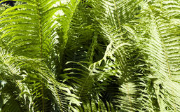 Green fern close up Royalty Free Stock Image