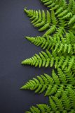 Green fern on dark background royalty free stock photo