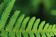 Green fern detail Royalty Free Stock Photography