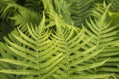 Green fern Royalty Free Stock Images
