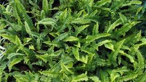 Green Fern Field Royalty Free Stock Image