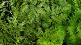Green Fern Field Stock Image