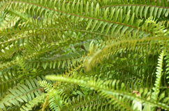 Green fern. A flowerless plant that has feathery or leafy fronds and reproduces by spores released from the undersides of the fronds. Ferns have a vascular Royalty Free Stock Photo