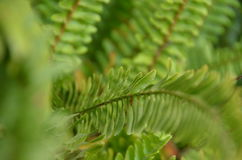 Green fern. A flowerless plant that has feathery or leafy fronds and reproduces by spores released from the undersides of the fronds. Ferns have a vascular Stock Photo