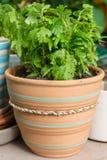 Green fern in flowerpot Royalty Free Stock Photo