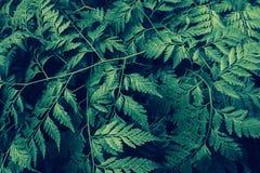 Green fern  foliage natural  fresh   spring ,summer  fresh nat Stock Images