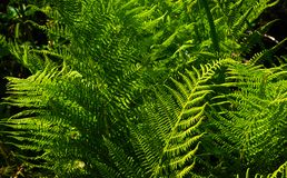 Green fern in the forest. Green fern in the green fern in the Royalty Free Stock Photo