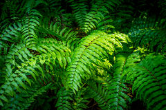 Green Fern in Forest Stock Image