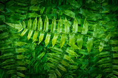 Green fern in forest Royalty Free Stock Photo