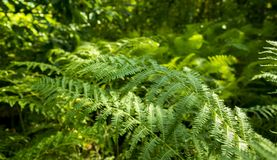 Green Fern in forest with blurry background Royalty Free Stock Photo