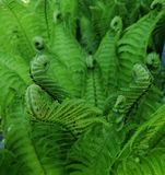 Green fern in the forest in nature royalty free stock image