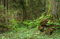 Green fern forest with old moss tree Stock Images