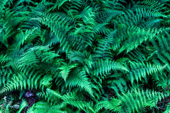 Green fern forest in Pennsylvania Stock Photography