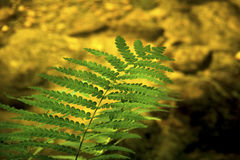 Green fern frond over clear water, Sugar River, New Hampshire. Stock Images