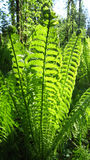 Green fern frond Royalty Free Stock Images
