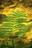Green fern fronds against clear water, Sugar River, New Hampshire. Green fronds of interrupted fern, Osmunda intermedia, hanging over bright, sandy, clear stock image