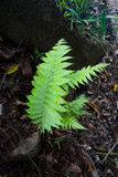 Green fern fronds. Ferns fronds against natural dark background growing in tropical Queensland Australia Stock Image
