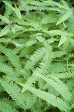 Green Fern Fronds Royalty Free Stock Photos