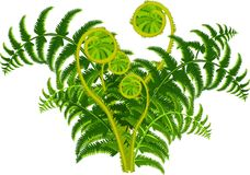 Green fern Stock Photos