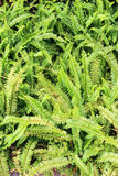 Green fern in garden as a background. Botanic garden, Thailand Stock Images
