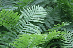 Green Fern In  Garden Royalty Free Stock Images