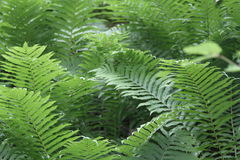 Green Fern In  Garden Stock Photography