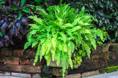 Green fern in garden Royalty Free Stock Photography