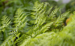 Green fern in the garden Stock Image