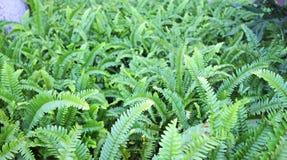 Green Fern In  Garden Stock Image