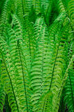 Green fern. Group of green ferns image background Stock Photo