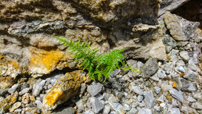 Green fern. Fern grow up in humidity rock floor Stock Photography