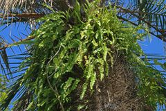 GREEN FERN GROWING AGAINST TRUNK OF PALM TREE Stock Photography