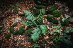 Green fern is growing close to moss covered stones in forest